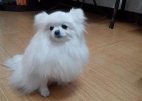 寻狗启示,河南省新乡市怡园小区我带白博美犬走了,它是一只非常可爱的宠物狗狗,希望它早日回家,不要变成流浪狗。