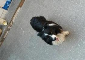寻狗启示,leo,你在哪,边牧,它是一只非常可爱的宠物狗狗,希望它早日回家,不要变成流浪狗。