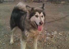 寻狗启示,寻狗,阿拉斯加,希望大家帮忙留意一下,它是一只非常可爱的宠物狗狗,希望它早日回家,不要变成流浪狗。