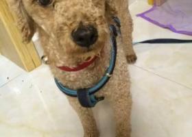 寻狗启示,扬州皇都漫城丢失泰迪一只,它是一只非常可爱的宠物狗狗,希望它早日回家,不要变成流浪狗。