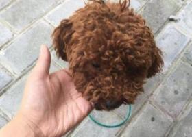 寻狗启示,帮泰迪找主人!!在高淳花山捡到的!也靠近安徽!!,它是一只非常可爱的宠物狗狗,希望它早日回家,不要变成流浪狗。