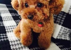 寻狗启示,寻爱狗贵宾犬,禾祥西丢失,必有重谢!,它是一只非常可爱的宠物狗狗,希望它早日回家,不要变成流浪狗。