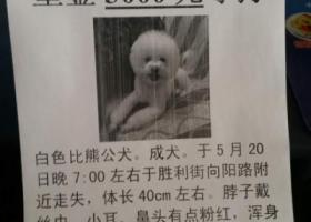 寻狗启示,潍坊3000元寻狗白色比熊公犬,它是一只非常可爱的宠物狗狗,希望它早日回家,不要变成流浪狗。