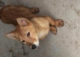 寻狗启示,磐安路边捡到一只狗黄色,小型犬,它是一只非常可爱的宠物狗狗,希望它早日回家,不要变成流浪狗。