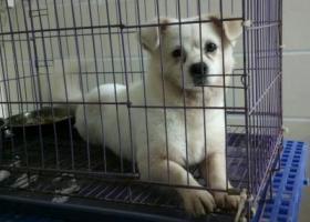 寻狗启示,2016年5月21日于佛山大沥水头拾获白色小型犬,它是一只非常可爱的宠物狗狗,希望它早日回家,不要变成流浪狗。