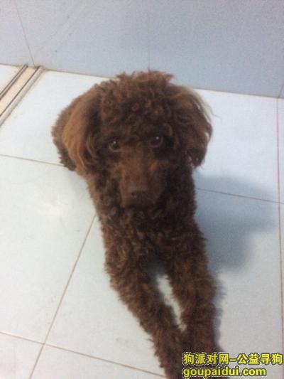 寻狗启示,小型棕色贵宾寻狗启示,它是一只非常可爱的宠物狗狗,希望它早日回家,不要变成流浪狗。