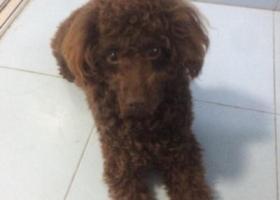 小型棕色贵宾寻狗启示
