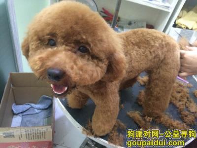 寻狗启示,广州海珠区新港西重金寻找棕色贵宾,它是一只非常可爱的宠物狗狗,希望它早日回家,不要变成流浪狗。