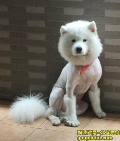 寻狗启示,广州市番禺区钟村镇谢村寻找萨摩耶,它是一只非常可爱的宠物狗狗,希望它早日回家,不要变成流浪狗。