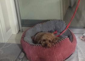 寻狗启示,捡到一只泰迪宝宝,集训主人,它是一只非常可爱的宠物狗狗,希望它早日回家,不要变成流浪狗。