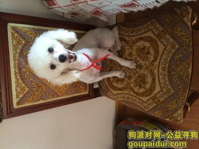 盐城捡到狗,盐城寻狗主人白色贵宾犬,它是一只非常可爱的宠物狗狗,希望它早日回家,不要变成流浪狗。