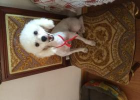 寻狗启示,盐城寻狗主人白色贵宾犬,它是一只非常可爱的宠物狗狗,希望它早日回家,不要变成流浪狗。