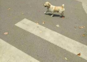 重金找狗 ,中华田园犬