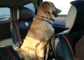 寻狗启示,寻狗启事 金毛犬    名字叫Money,它是一只非常可爱的宠物狗狗,希望它早日回家,不要变成流浪狗。