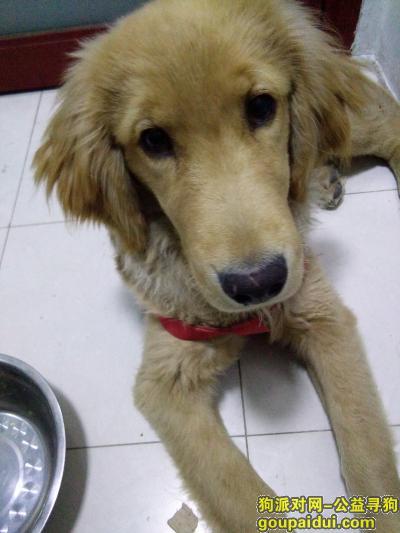 寻狗启示,江苏徐州寻找公金毛犬,它是一只非常可爱的宠物狗狗,希望它