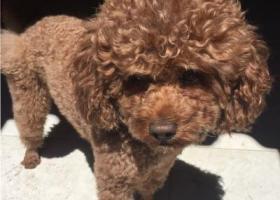 寻狗启示,内蒙古乌海市海区寻狗狗,它是一只非常可爱的宠物狗狗,希望它早日回家,不要变成流浪狗。