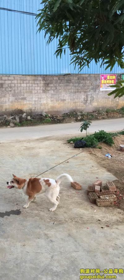 崇左丢狗,广西崇左龙州县丢失狗,它是一只非常可爱的宠物狗狗,希望它早日回家,不要变成流浪狗。