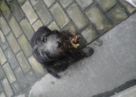 寻狗启示,安大新区附近发现一只流浪的黑色西施犬,它是一只非常可爱的宠物狗狗,希望它早日回家,不要变成流浪狗。