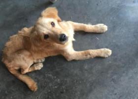寻狗启示,乐山急寻半岁金毛妹妹!求帮忙,它是一只非常可爱的宠物狗狗,希望它早日回家,不要变成流浪狗。