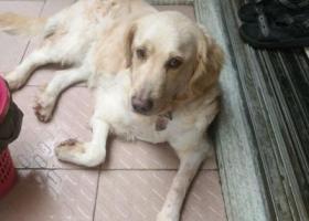 寻狗--金毛在广州番禺市桥星海公园附近走失