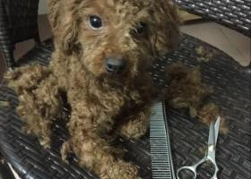 5月30日晚在广州车陂遗失棕色母泰迪一只