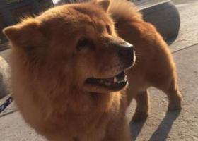 寻狗启示,寻找棕黄色松狮犬毛毛,它是一只非常可爱的宠物狗狗,希望它早日回家,不要变成流浪狗。