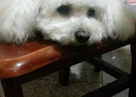 寻狗启示,浙江湖州金湖人家寻找贵宾犬,它是一只非常可爱的宠物狗狗,希望它早日回家,不要变成流浪狗。
