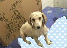 5月31日万秀村丢失一只米白色贵宾犬