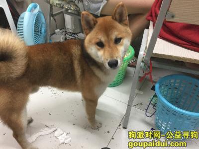 寻狗启示,大学城捡到柴犬一只,公狗,它是一只非常可爱的宠物狗狗,希望它早日回家,不要变成流浪狗。