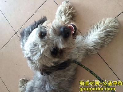 襄阳寻狗主人,6.4日在鼓楼捡到一只雪纳瑞和泰迪串串,它是一只非常可爱的宠物狗狗,希望它早日回家,不要变成流浪狗。