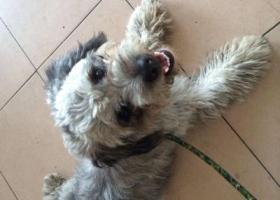 寻狗启示,6.4日在鼓楼捡到一只雪纳瑞和泰迪串串,它是一只非常可爱的宠物狗狗,希望它早日回家,不要变成流浪狗。
