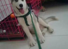 寻狗启示,急! 急!急!急!1000元悬赏找爱狗。,它是一只非常可爱的宠物狗狗,希望它早日回家,不要变成流浪狗。