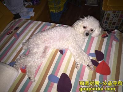 ,6月8日丢失一只白色贵宾犬!急急急!,它是一只非常可爱的宠物狗狗,希望它早日回家,不要变成流浪狗。