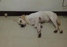 """寻狗启示,寻找爱犬""""""""拉布拉多"""""""",它是一只非常可爱的宠物狗狗,希望它早日回家,不要变成流浪狗。"""