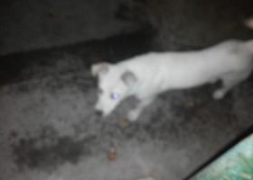 寻狗启示,发现一条白狗,在无锡茂业附近,它是一只非常可爱的宠物狗狗,希望它早日回家,不要变成流浪狗。