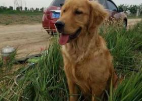 在安新县百亩鱼池丢失金毛犬一条