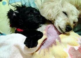 昨天晚上在济南黄台南路铁路局宿舍广场内丢失爱犬一只