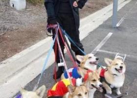 寻狗启示,捡到一只金毛,失主请尽快联系,它是一只非常可爱的宠物狗狗,希望它早日回家,不要变成流浪狗。