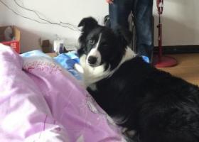 寻狗启示,铜仁市小十字周围寻找边牧,它是一只非常可爱的宠物狗狗,希望它早日回家,不要变成流浪狗。