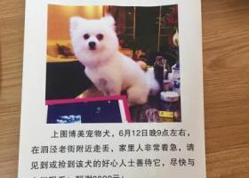 上海松江区泗泾老街酬谢3000元寻找博美犬
