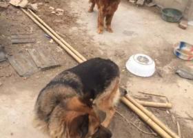 寻狗启示,请多多留意见过的金毛和德牧,它是一只非常可爱的宠物狗狗,希望它早日回家,不要变成流浪狗。