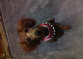 寻狗启示,2016年6月15日下午17点50左右,在永盛路盛庄集附近走丢。,它是一只非常可爱的宠物狗狗,希望它早日回家,不要变成流浪狗。