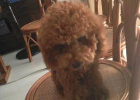 寻狗启示,一只泰迪狗在东方文化街三点多的时候走失估计被人抱走的,如有线索寻回爱犬,必有重谢,狗狗名字叫 锐澳☎️15092938367。 求转发!跑起来后腿会一蹬一蹬的,它是一只非常可爱的宠物狗狗,希望它早日回家,不要变成流浪狗。