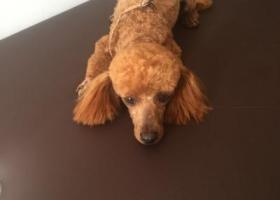 寻狗启示,一泰迪狗于6月19日中午12点左右走失于齐齐哈尔市南山鑫苑小区,它是一只非常可爱的宠物狗狗,希望它早日回家,不要变成流浪狗。