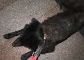 寻狗启示,帮黑色牧羊犬 寻主人,它是一只非常可爱的宠物狗狗,希望它早日回家,不要变成流浪狗。