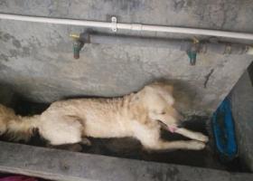 寻狗启示,在松山湖捡到一只大金毛,毛发刚刚修过。,它是一只非常可爱的宠物狗狗,希望它早日回家,不要变成流浪狗。