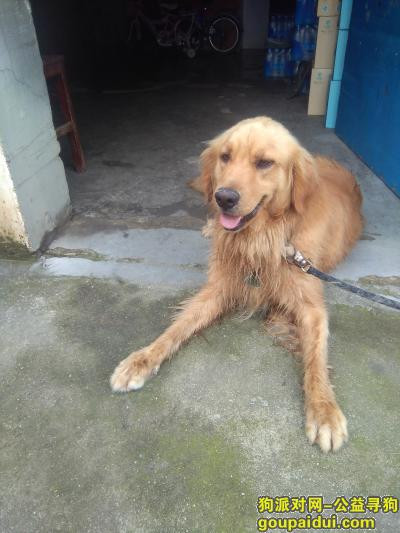 宣城找狗主人,隔壁华美超市捡到一只金毛,它是一只非常可爱的宠物狗狗,希望它早日回家,不要变成流浪狗。