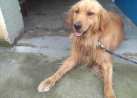 寻狗启示,隔壁华美超市捡到一只金毛,它是一只非常可爱的宠物狗狗,希望它早日回家,不要变成流浪狗。