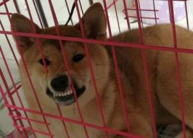 北京 昌平区回龙观城北市场马家地2号院寻找柴犬