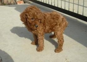 泰迪,两岁半,体型较小,红棕色,身上没有毛,头和尾巴有毛